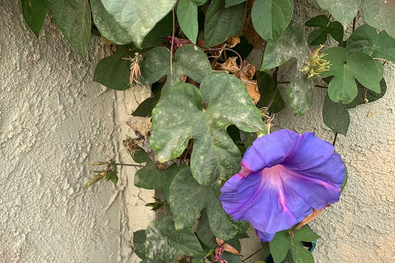 A close up horizontal image of a purple morning glory flower growing up a wall with the foliage suffering from a fungal infection called powdery mildew.
