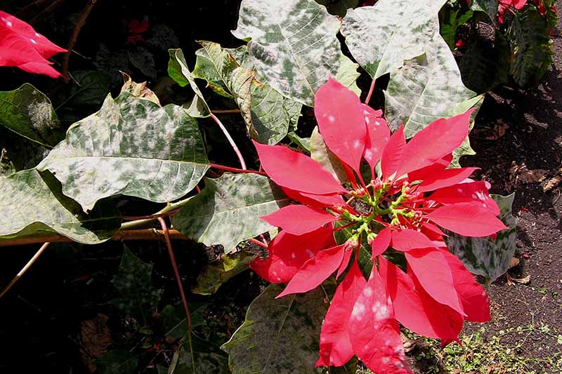 A close up horizontal top down picture of a poinsettia plant growing in the garden with bright red bracts and green foliage suffering from a disease called powdery mildew, pictured in bright sunshine on a soft focus background.