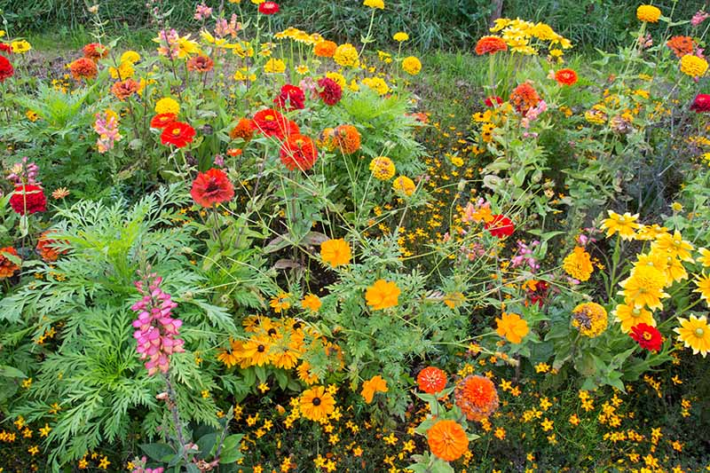 A close up horizontal image of a garden border with blooming wildflowers in a variety of colors.