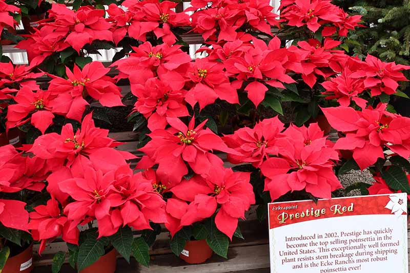 A close up horizontal image of nursery shelves with pots of 'Prestige Red' poinsettia plants for sale, pictured in bright sunshine, with a sign in the foreground.