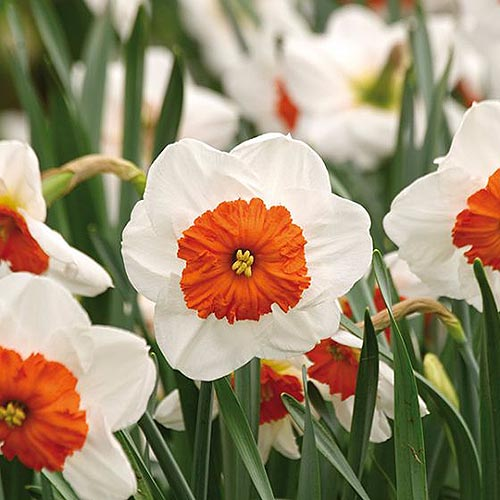 A close up square image of the white flowers with orange centers of 'Professor Einstein' growing in the spring garden.