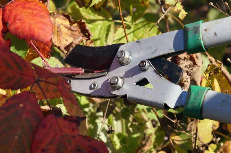 A close up horizontal image of a pair of pruning shears cutting back the stems and foliage of a boysenberry plant in fall.