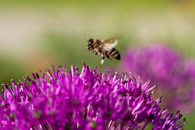 A close up horizontal image of a purple flowering allium blossom with a bee landing on it, pictured on a green soft focus background.