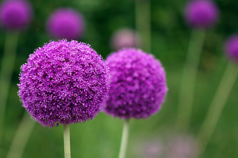 A close up horizontal image of bright purple round pompom-like flowers growing in the garden pictured on a soft focus background.