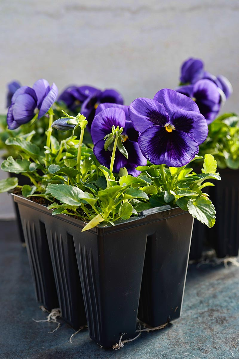 A close up vertical image of purple and black bicolored pansies in a small black seedling container pictured on a soft focus background.