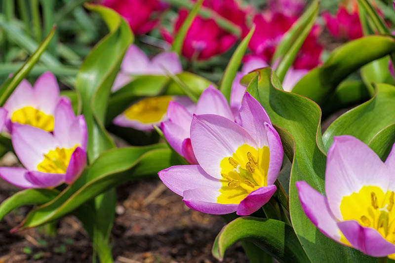 A close up horizontal image of purple and yellow tulips growing in the garden, pictured in bright sunshine on a soft focus background.