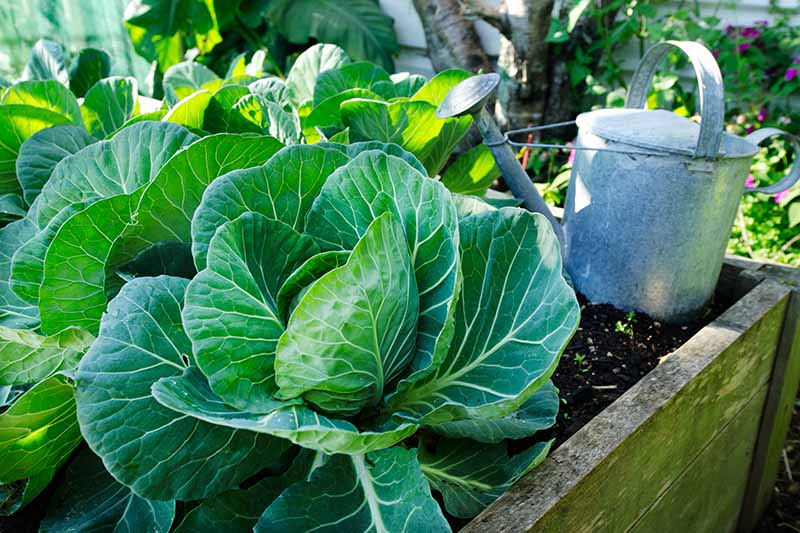 A close up horizontal image of cabbage growing in a wooden raised bed garden, with a metal watering can in the background, pictured in filtered sunshine.
