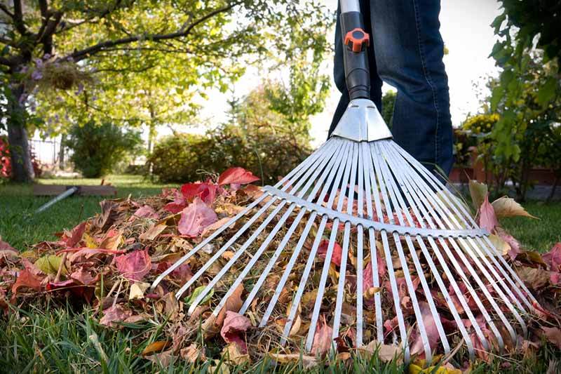 A close up horizontal image of a person using a garden tool to move autumn leaves from the lawn, pictured in light autumn sunshine with a garden scene in soft focus in the background.