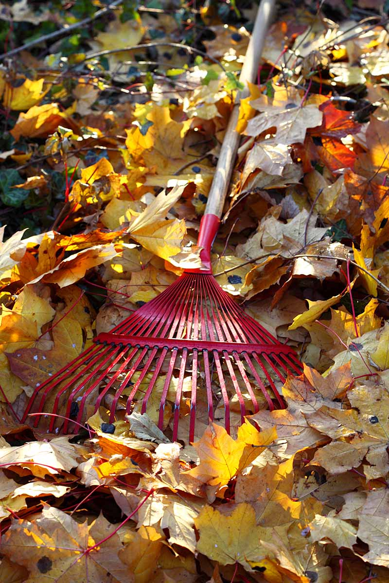 A close up vertical image of a red metal rake set amongst yellow and brown autumn leaves, pictured in filtered sunshine.