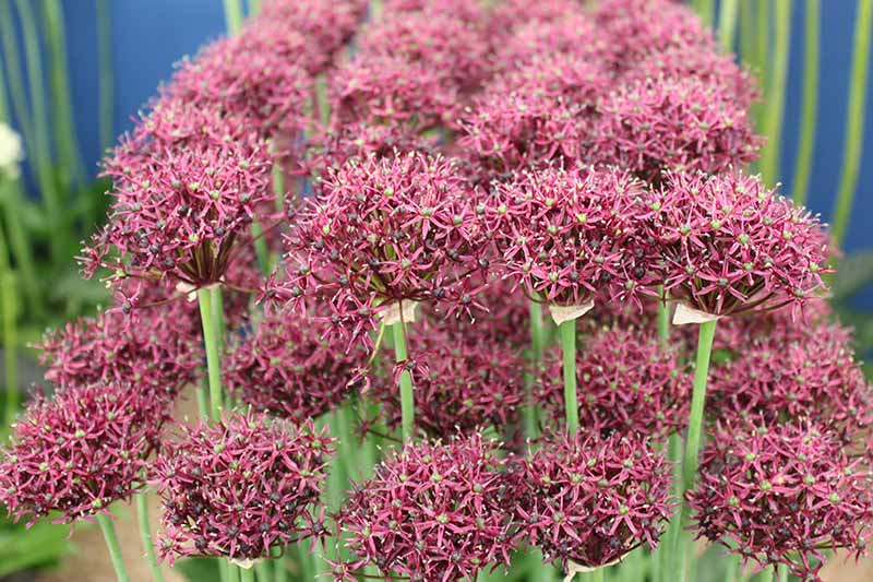 A close up horizontal image of red ornamental alliums growing indoors on a soft focus blue background.
