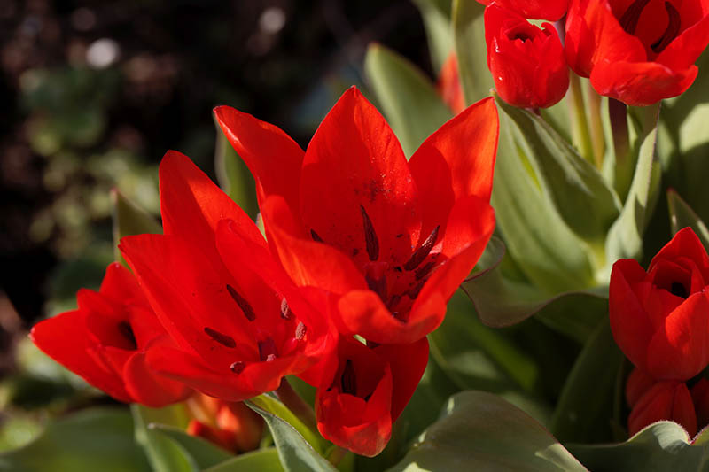 A close up horizontal image of bright red Tulipa praestans flowers pictured in light sunshine on a soft focus background.