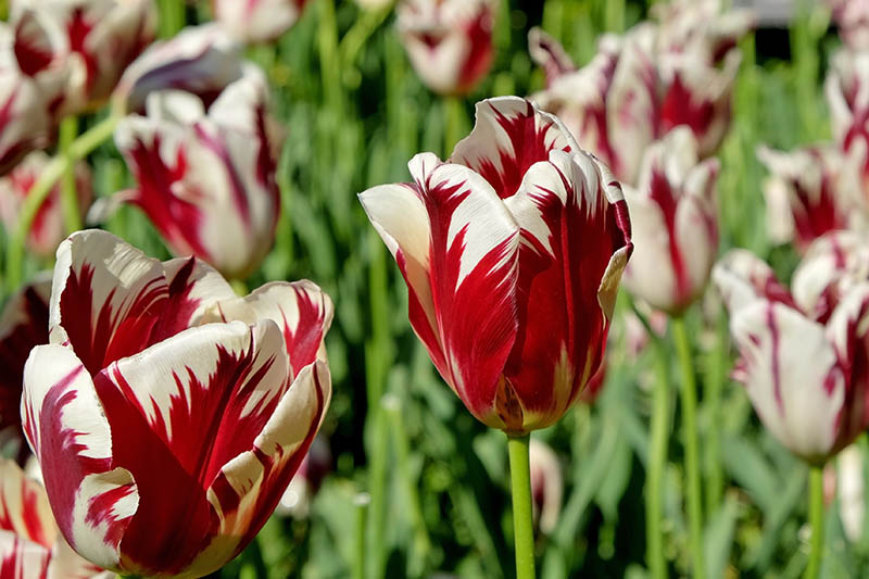 A close up horizontal image of red and white Rembrandt tulips growing in the garden, pictured in bright sunshine on a soft focus background.