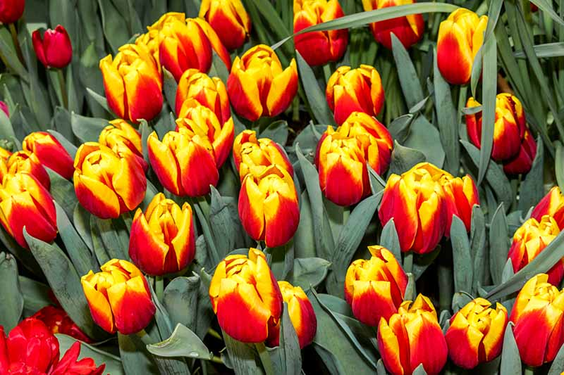 A close up horizontal image of red and yellow tulips growing in the garden, surrounded by foliage.