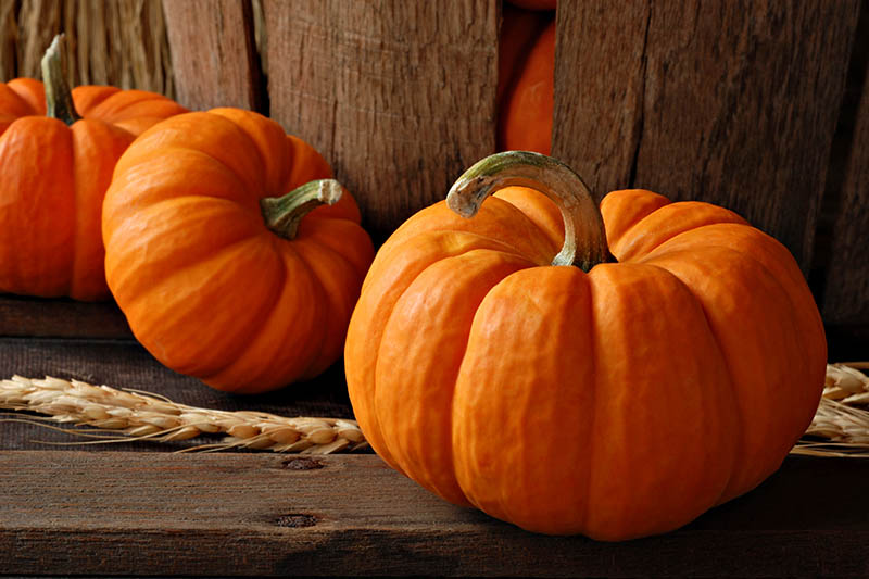 A close up horizontal image of bright orange, cured pumpkins set on a wooden surface in gentle evening light.