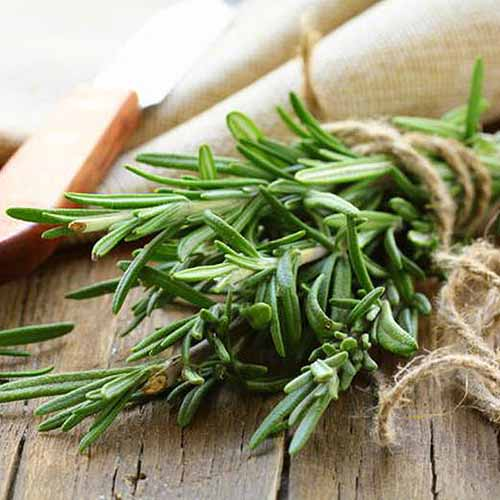 A close up square image of freshly harvested rosemary tied into a bunch and set on a wooden surface on a soft focus background.