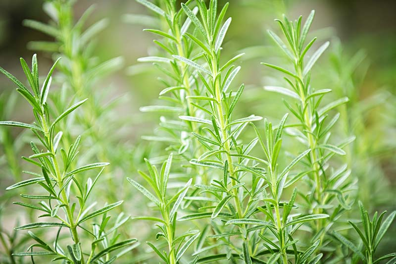 A close up horizontal image of rosemary growing in the garden pictured in bright sunshine on a soft focus background.