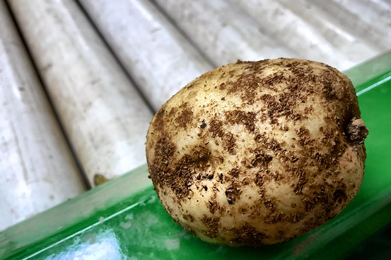 A close up horizontal image of a potato suffering from a disease called scab set on a green surface.