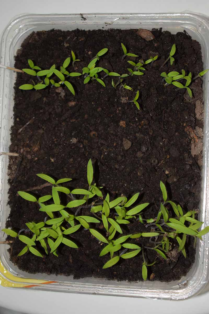A close up vertical image of a small takeout container planted with tiny seedlings.