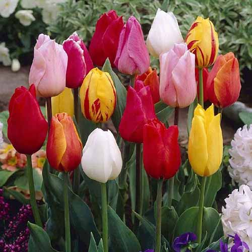A close up square image of Single Early tulips in a variety of colors growing in the garden with foliage in soft focus in the background.