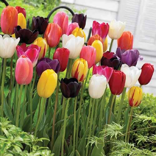 A close up square image of colorful Single Late tulips blooming in a variety of colors growing in the garden with a house in soft focus in the background.