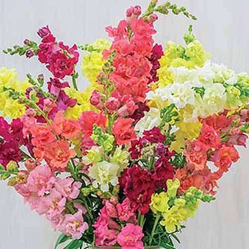 A close up square image of a vase full of freshly cut snapdragon flowers in a variety of colors on a white background.