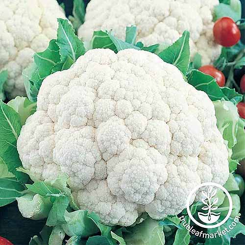 A close up square image of the white curds of 'Snowball Improved' cauliflower, freshly harvested with the foliage cut off. To the bottom right of the frame is a white circular logo with text.