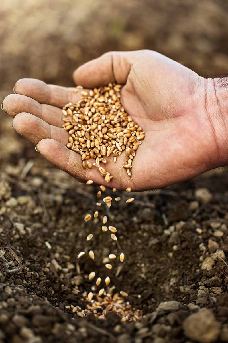 A close up vertical image of a hand from the right of the frame with a handful of seeds, sprinkling them into the soil, pictured on a soft focus background.