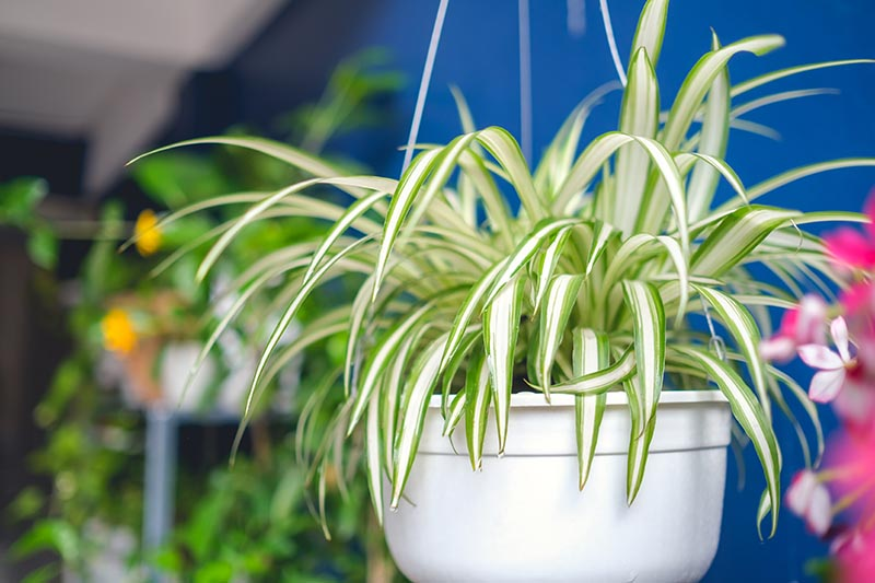 A close up of a spiderplant growing in a white hanging basket with a blue wall and foliage in soft focus in the background.
