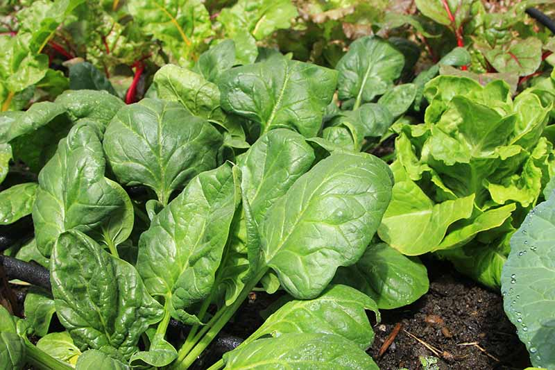 A close up horizontal image of spinach growing in the garden surrounded by other plants, pictured in bright sunshine.