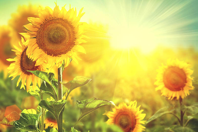 A close up horizontal image of sunflowers growing in the garden in bright sunshine on a soft focus background.