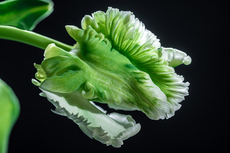 A close up horizontal picture of an unusual green and white 'Super Parrot' tulip, pictured on a black background.