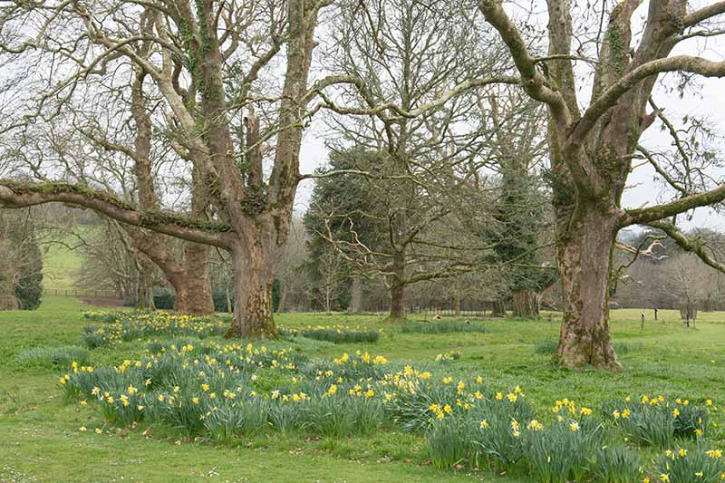 A horizontal image of a parkland setting of large trees with naturalized daffodils growing in the grass.