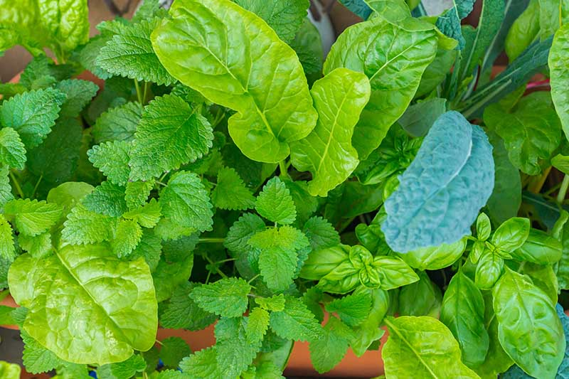 A close up horizontal image of Swiss chard, kale, basil, and mint growing as companions in a container.