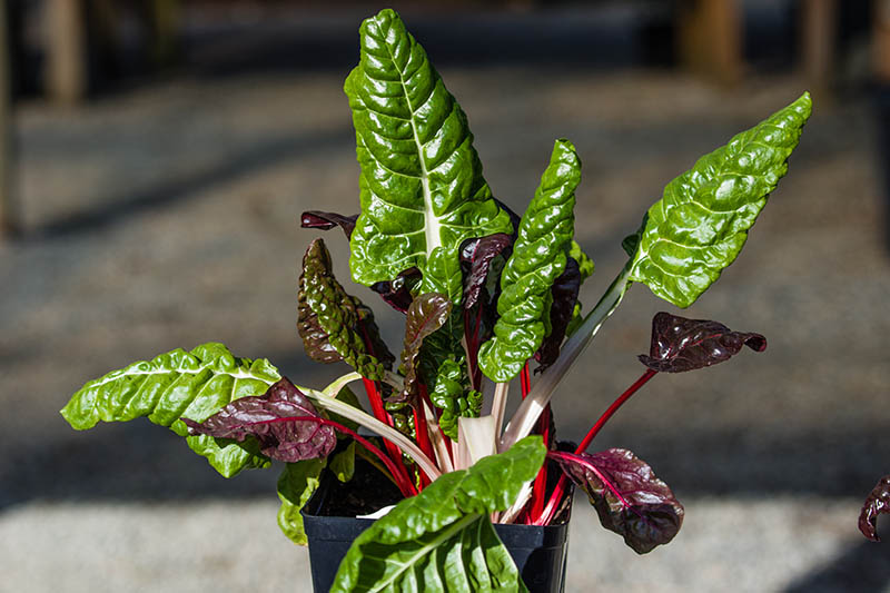 A close up horizontal image of a small Swiss chard plant growing in a little black plastic container, pictured in bright sunshine on a soft focus background.