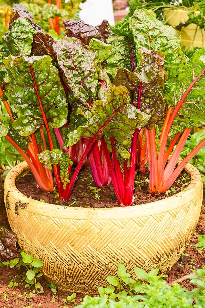 A close up vertical image of Swiss chard growing in a large pot with bright red stalks and dark green leaves.