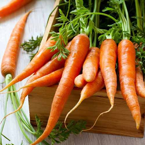 A close up square image of a wooden box with fresh 'Tendersweet' carrots spilling out of it.