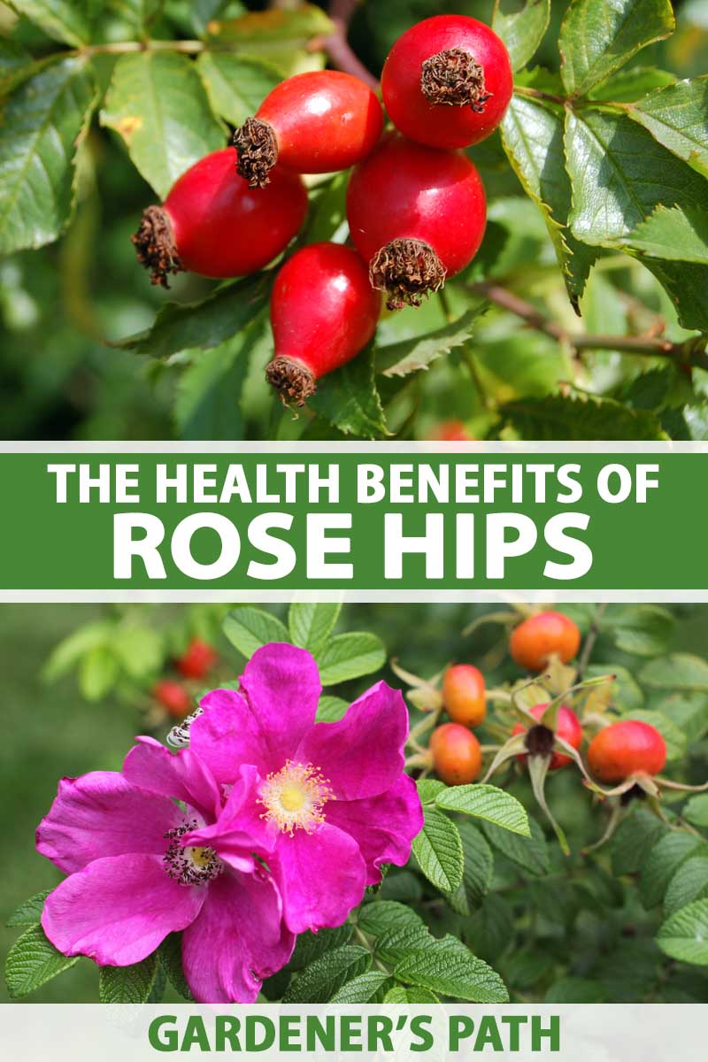 A close up vertical image of a rose shrub with bright pink flowers and vibrant red fruits, pictured in bright sunshine on a soft focus background. To the center and bottom of the frame is green and white printed text.