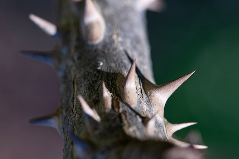 A close up horizontal image of the vicious thorns of the devil's walking stick plant pictured on a soft focus background.