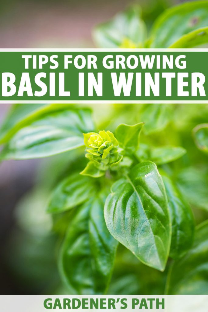 A close up vertical image of a basil plant growing indoors during the winter months pictured on a soft focus background. To the top and bottom of the frame is green and white printed text.