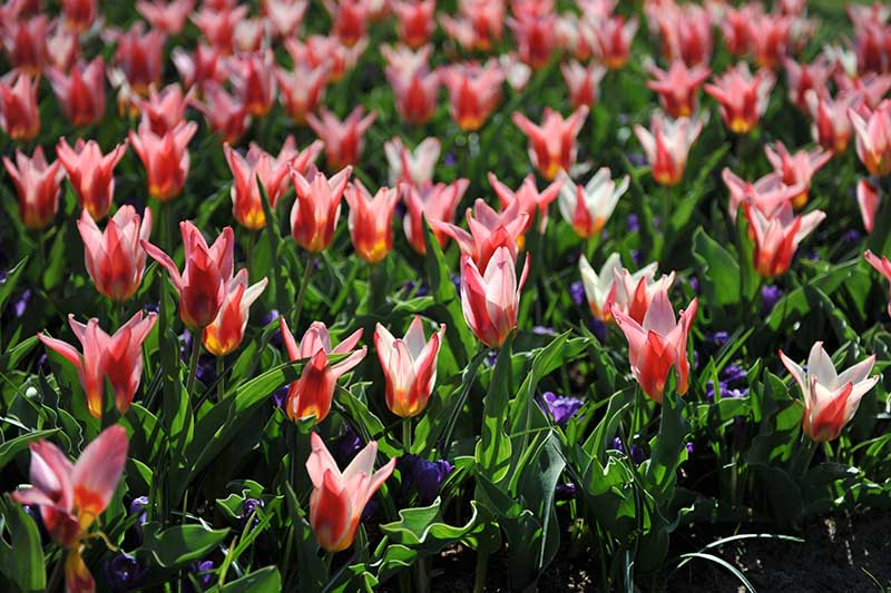 A horizontal image of a garden planted with Kaufmanniana tulips interspersed with small blue flowers, pictured in bright sunshine.