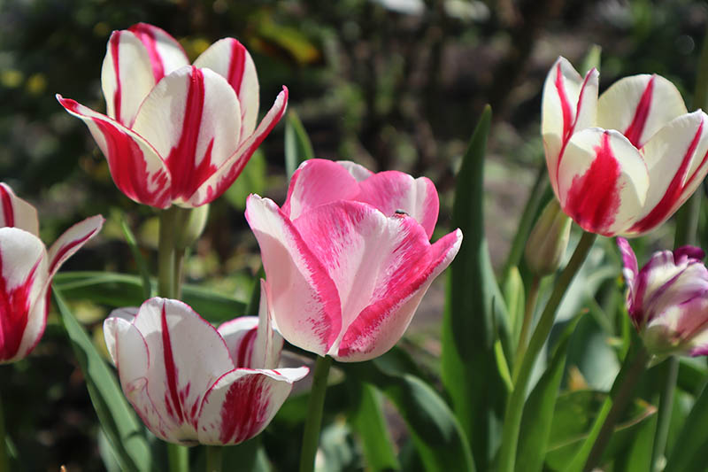 A close up horizontal image of pink, red, and white Rembrandt tulips growing in the garden, pictured in bright sunshine on a soft focus background.