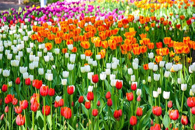 A horizontal image of different types of tulips growing in a field in a variety of colors.