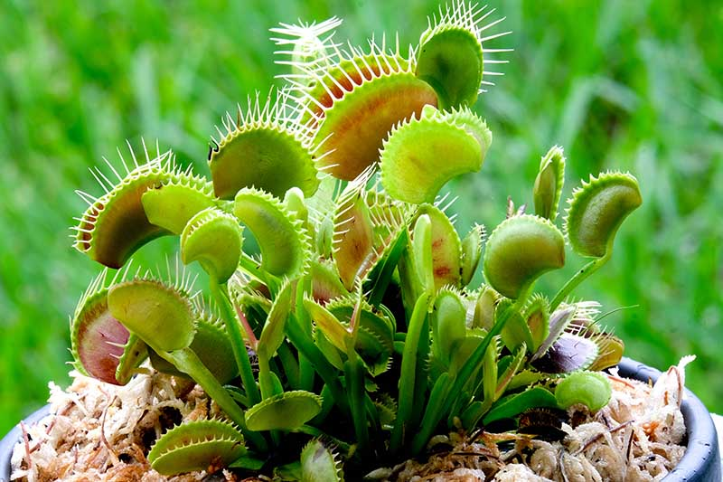 A close up horizontal image of the carnivorous venus flytrap plant growing in a pot, pictured on a soft focus background.