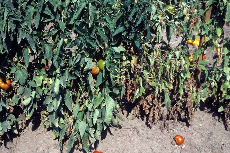 A close up horizontal image of tomato plants growing in the garden suffering from Verticillium wilt.