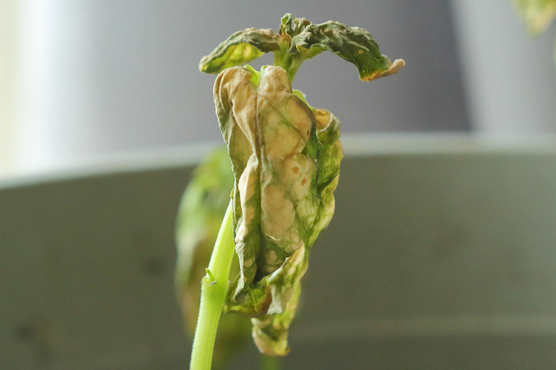 A close up horizontal image of a small seedling that has died from an infection of Verticillium wilt pictured on a soft focus background.