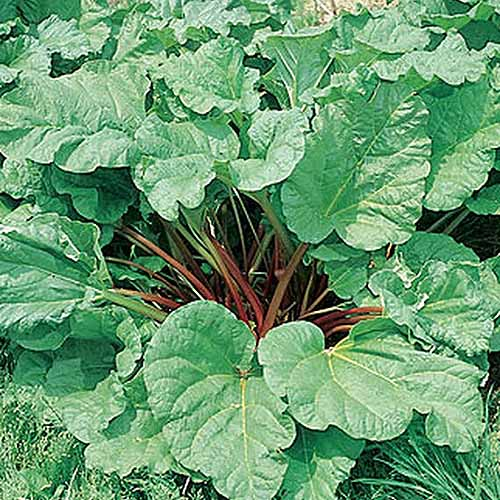 A close up square image of a large 'Victoria' rhubarb plant growing in the garden pictured in bright sunshine.