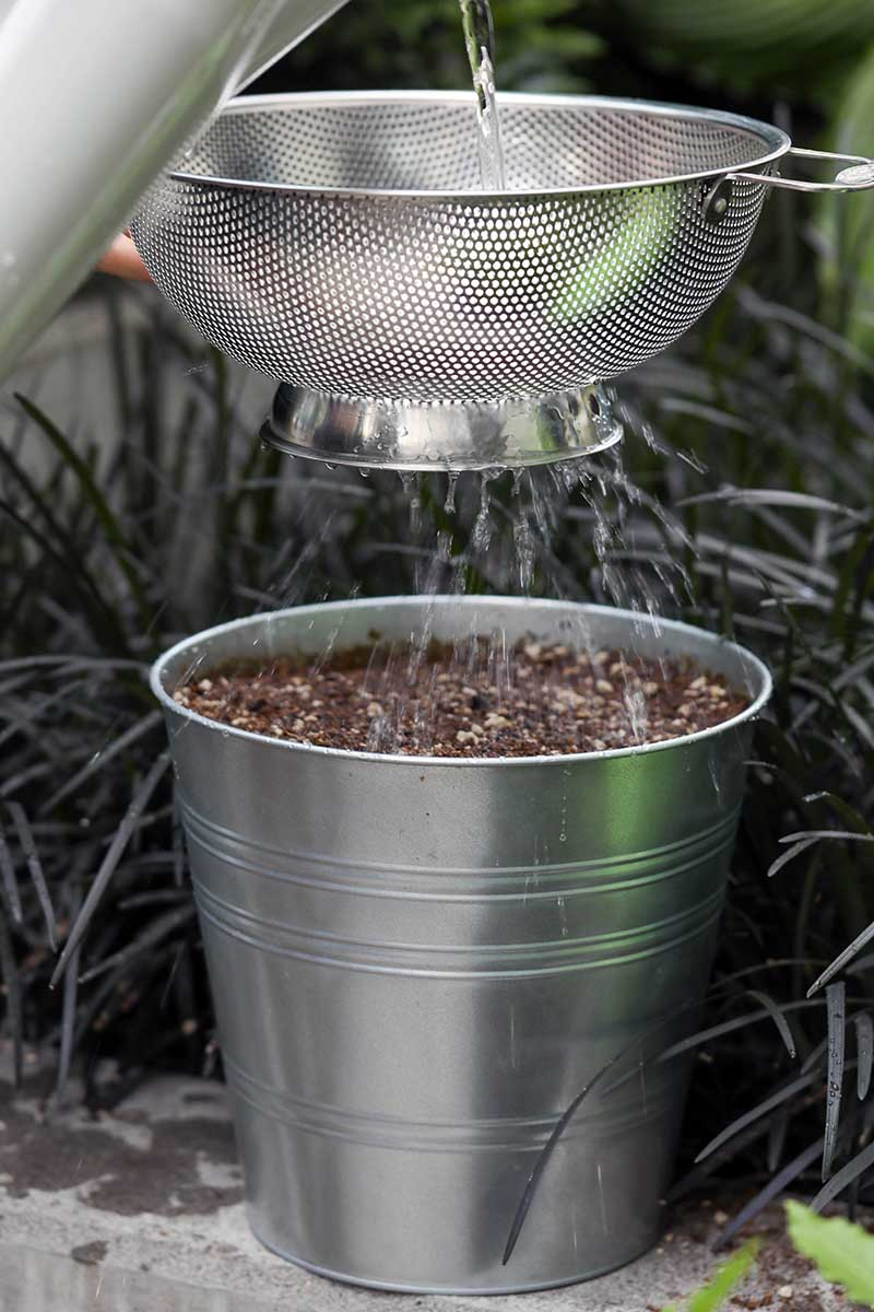A close up vertical image of a technique of watering Swiss chard seeds in a metal bucket by using a colander to sprinkle water over the top of the soil.