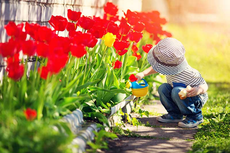A close up horizontal image of a small child with a colorful watering can irrigating bright red and yellow tulips growing in a border in the garden.