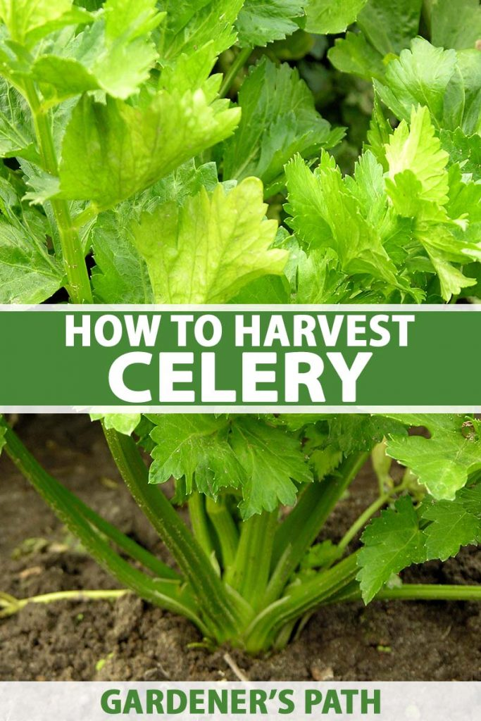 A close up vertical image of celery growing in the garden with bright green foliage and dark green stalks, with soil in soft focus in the background. To the center and bottom of the frame is green and white printed text.