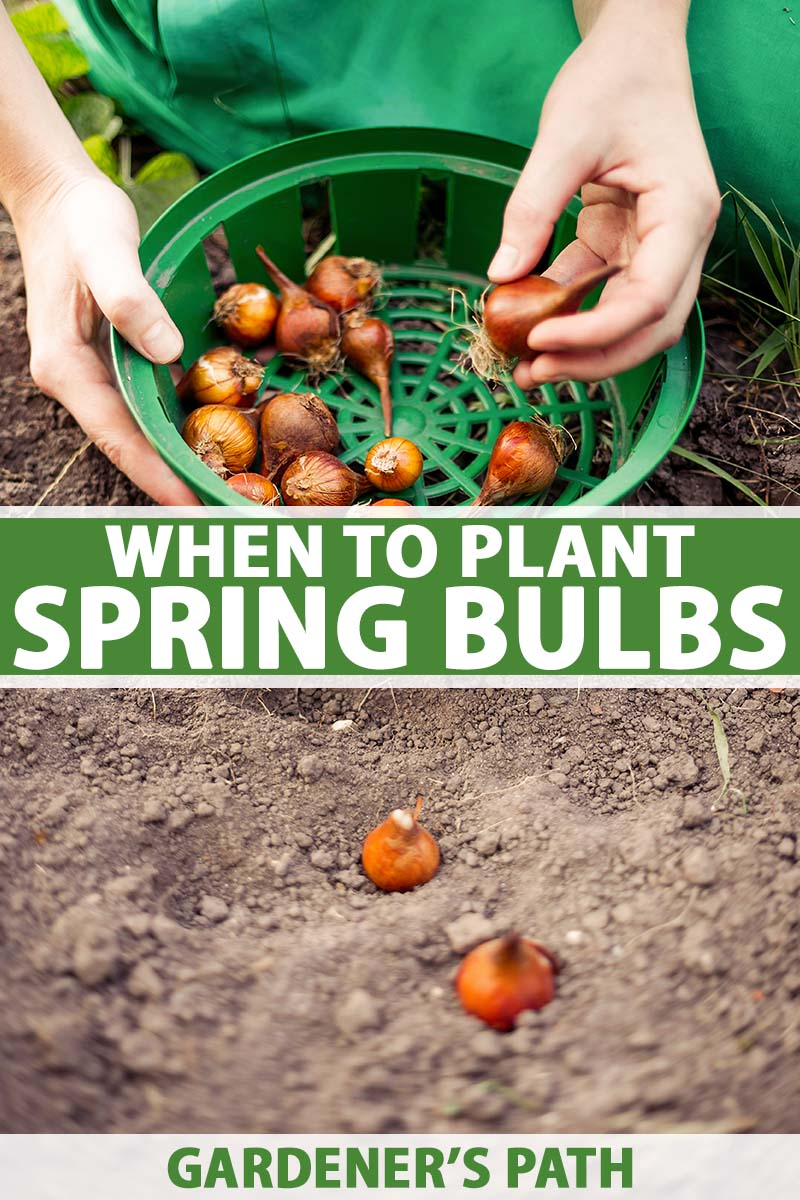 A vertical image of two hands from the top of the frame picking spring-flowering bulbs out of a green plastic bowl and planting them in the ground. To the center and the bottom of the frame is green and white printed text.